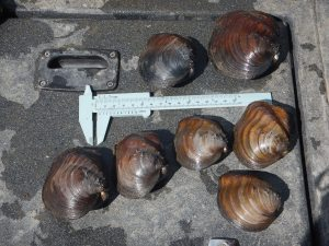 Sample of mussels that were relocated during the survey.